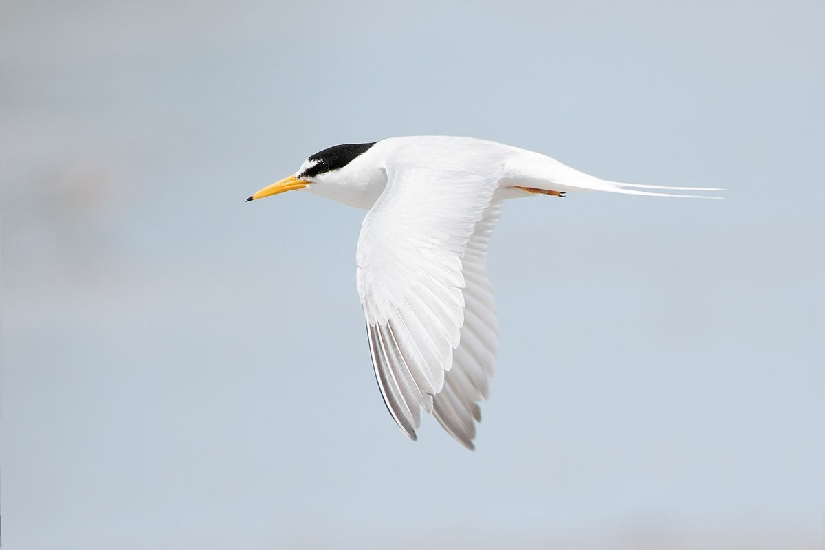/storage/Little Tern in flight
