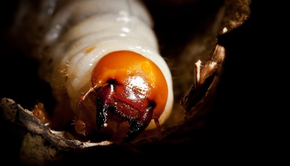 Lucanus larvae grub Lucanidae gestating in wood.