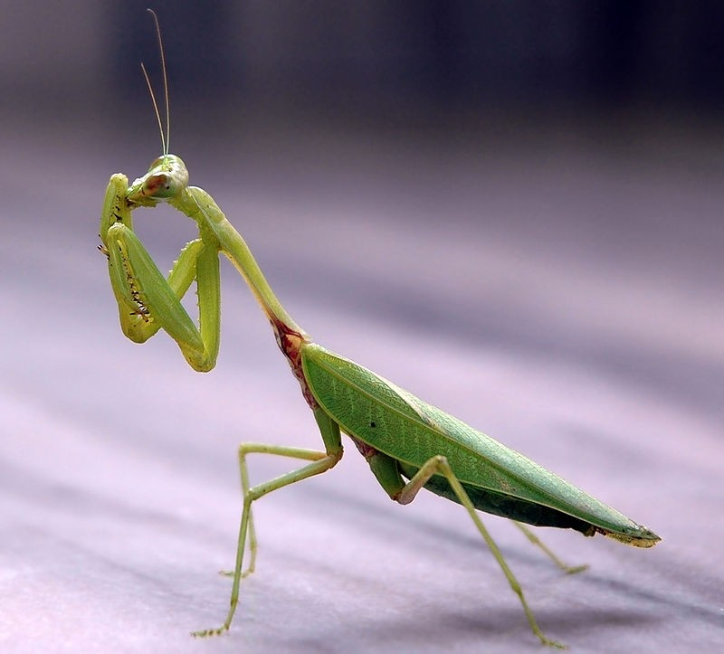 A large and beautiful green Prey Mantis