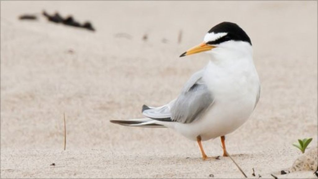 /storage/Little Tern is a threatened species in Britain