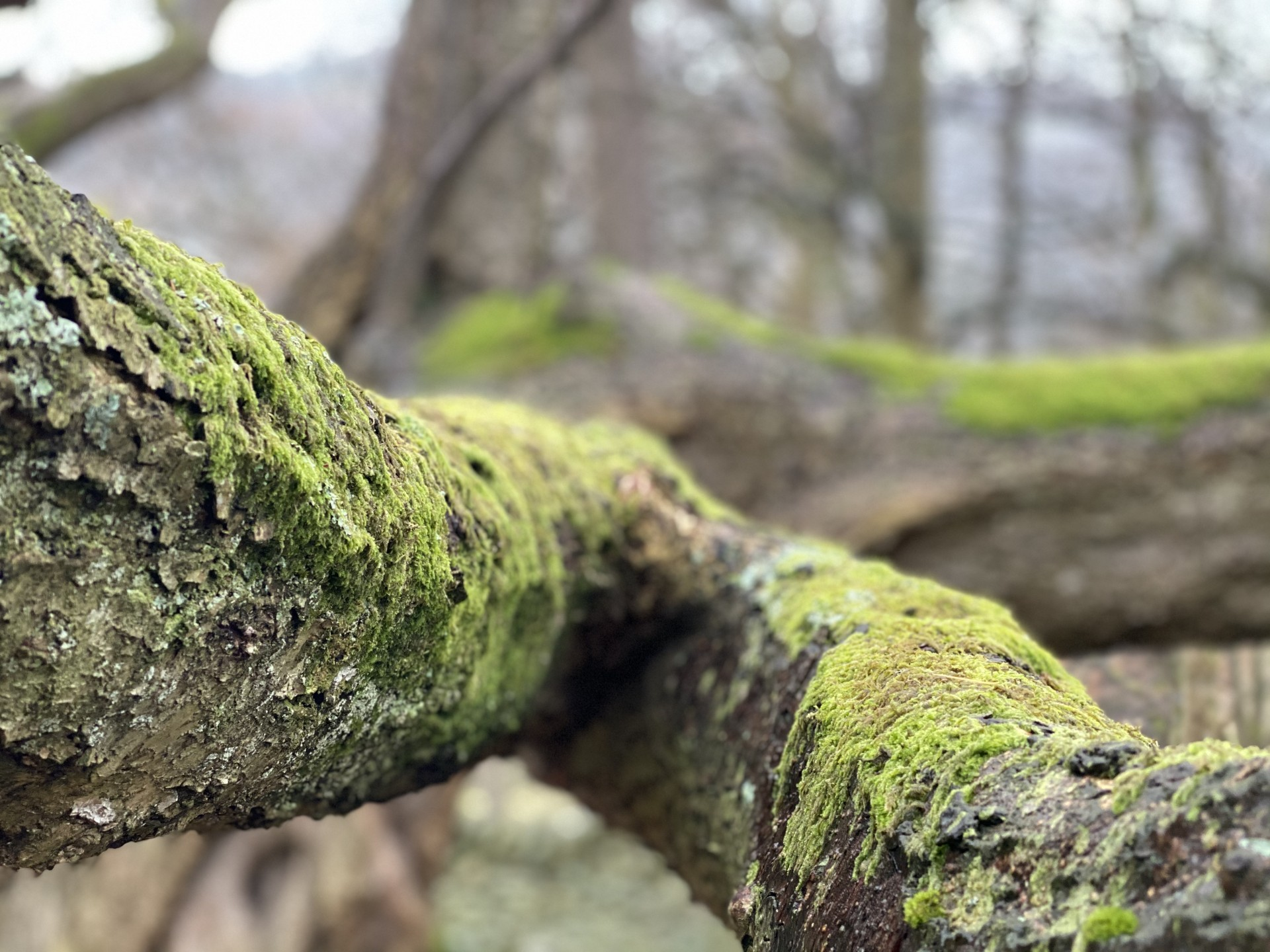Tree branch with moss & lichen cover.