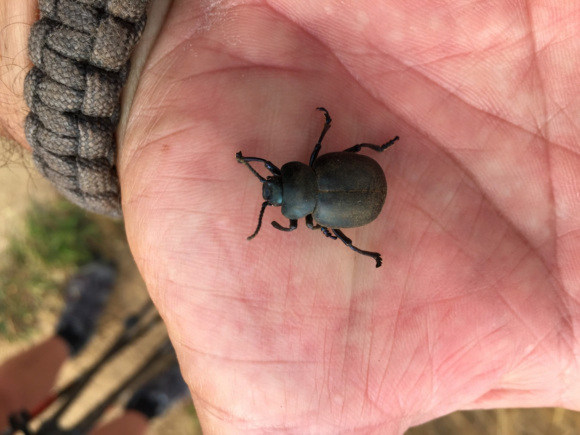 Bloody Nose beetle collected near Dunwich in Suffolk.