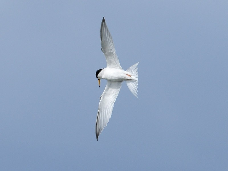 Little Tern on the wing