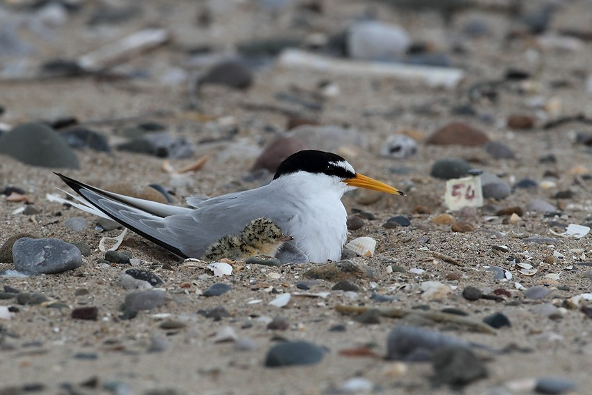 Little Tern nesting on open beaches which makes their eggs very vulnerable
