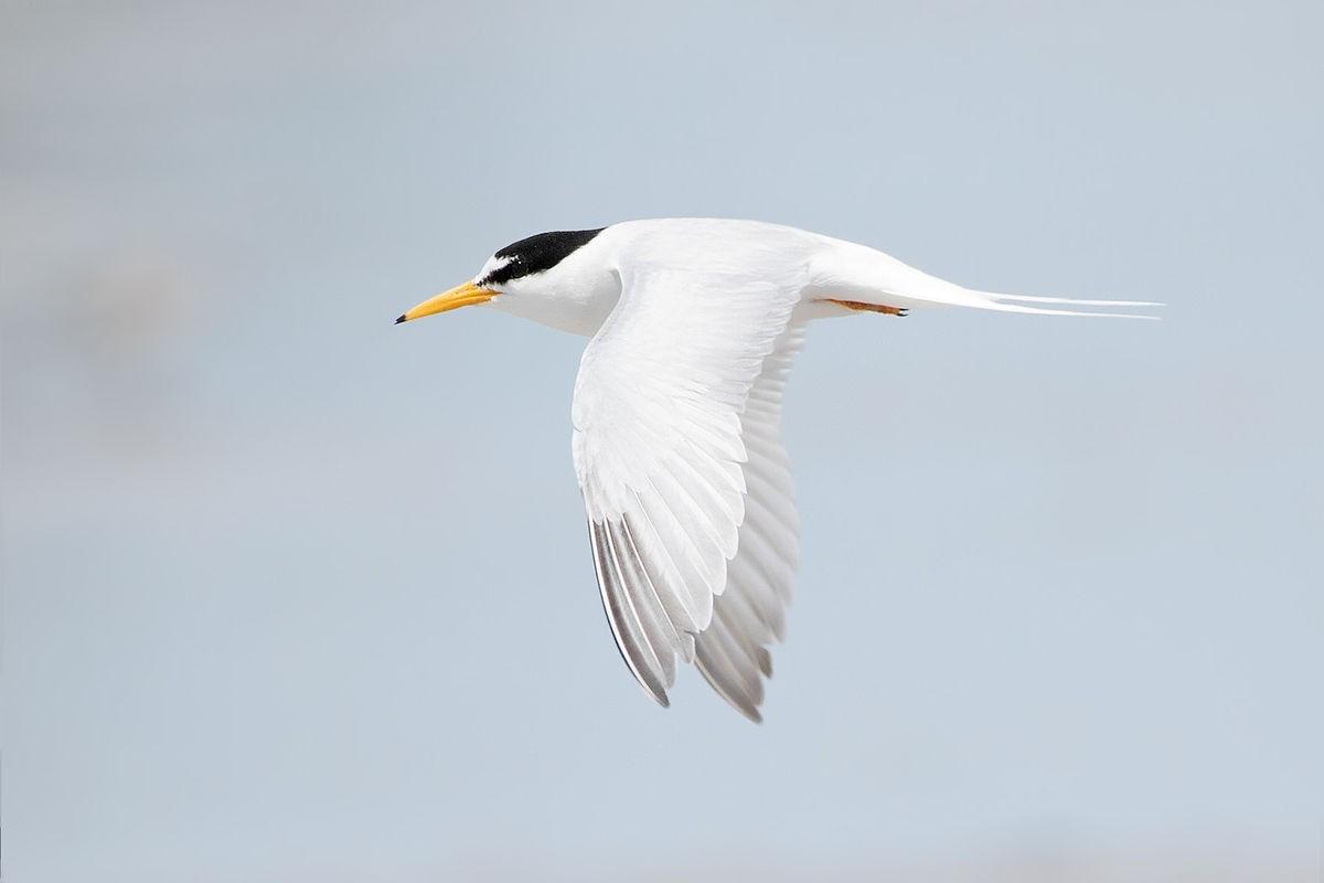 Little Terns migrate across the globe