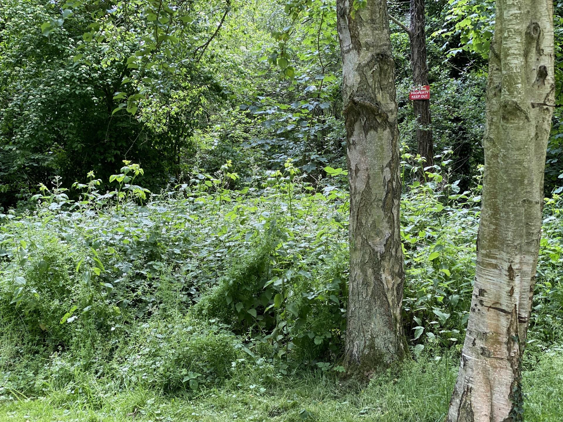 Plenty of nettles below deciduous trees.